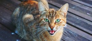 Read more about the article Why Does My Cat Meow So Much?