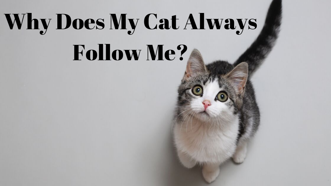 Why Does My Cat Always Follow Me?