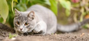 Why Do Cats Wiggle Their Butts Before They Pounce?