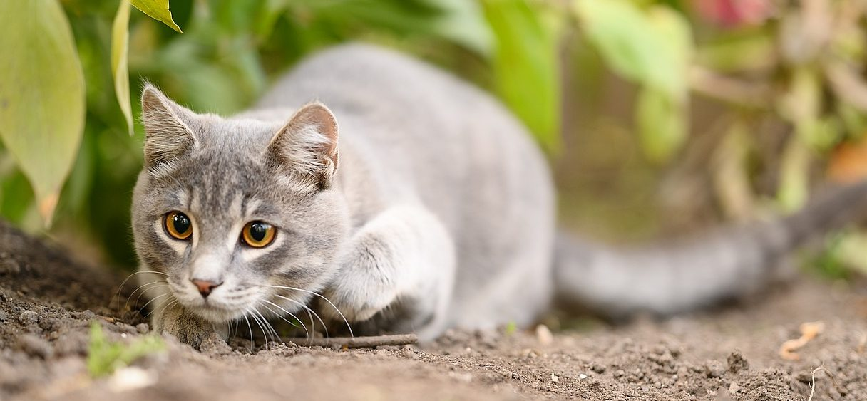 You are currently viewing Why Do Cats Wiggle Their Butts Before They Pounce?
