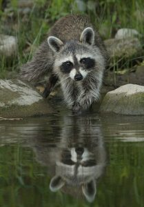 a raccoon washing something in the lake