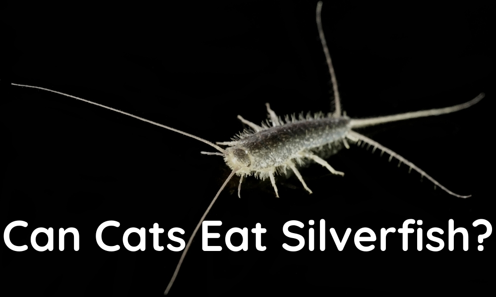 Read more about the article Can Cats Eat Silverfish?